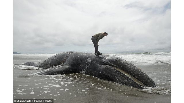 Why are so many whales washing up along the west coast?